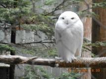 A great day with Lisa- Snowy Owl at V.I.N.S. in Quechee,VT